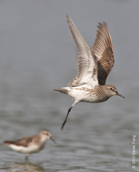 17 August: White-rumped Sandpiper taking off at Jamaica Bay WR