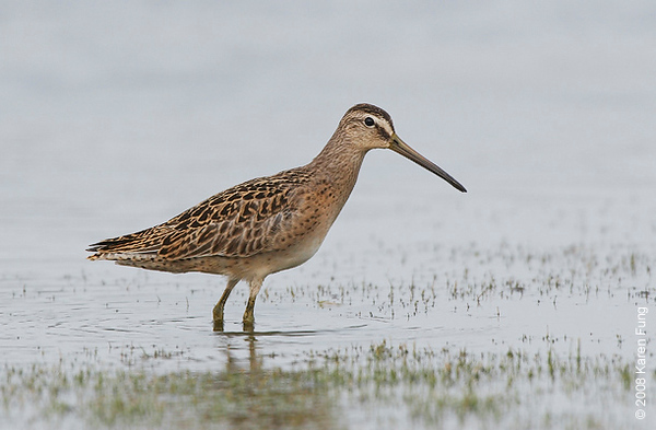 13 August 2008: Short-billed Dowitcher at Jamaica Bay WR