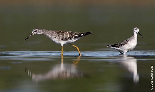 31 August: Wilson's Phalarope and Lesser Yellowlegs at Jamaica Bay Wildlife Refuge