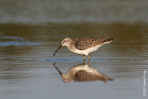 Stilt Sandpiper at Jamaica Bay WR