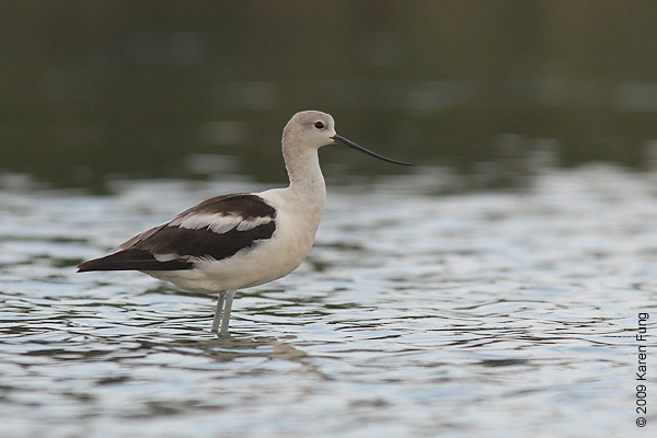 5 Sept 2009: An American Avocet on the East Pond of Jamaica Bay Wildlife Refuge