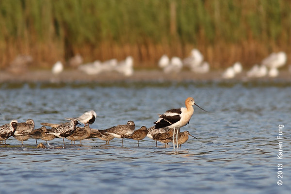 17 August: American Avocet at Jamaica Bay WR