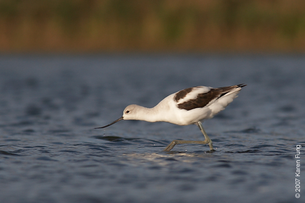 15 Sept 2007: American Avocet at Jamaica Bay WR