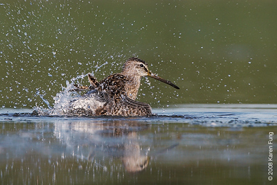August 31st: Short-billed Dowitcher splashing at Jamaica Bay Wildlife Refuge