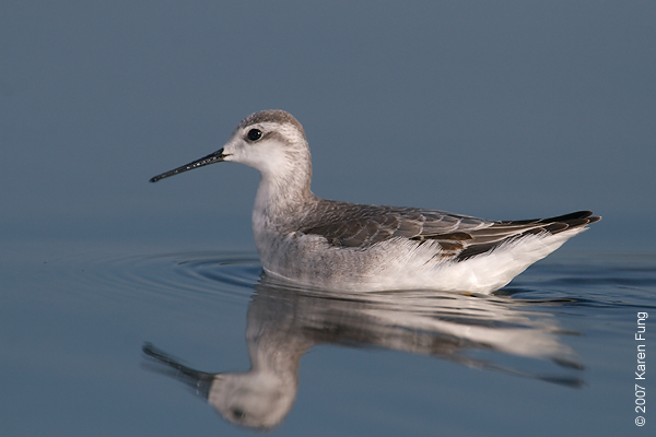 1 Sept 2007: Wilson's Phalarope at Jamaica Bay Wildlife Refuge