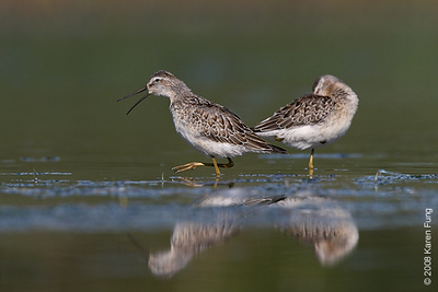 August 31st: Stilt Sandpipers at Jamaica Bay Wildlife Refuge