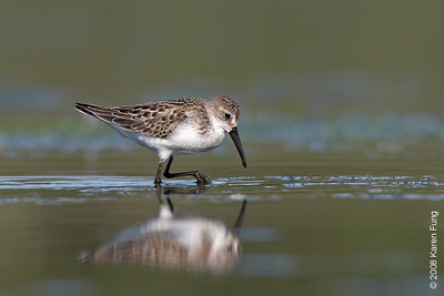 August 31st: Western Sandpiper at Jamaica Bay Wildlife Refuge
