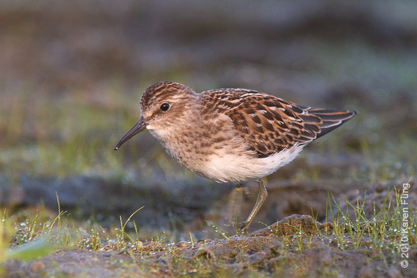 6 September: Least Sandpiper at Jamaica Bay WR