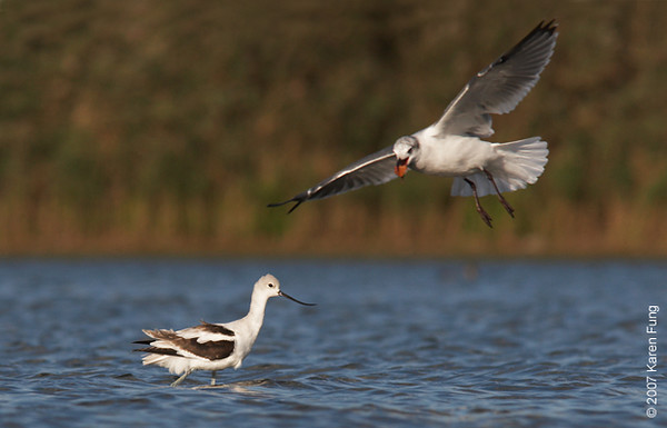A Laughing Gull joins an American Avocet on the East Pond of Jamaica Bay WR