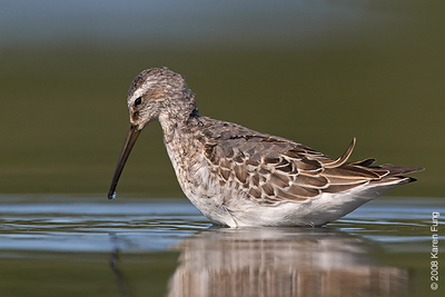 31 August 2008: Stilt Sandpiper at Jamaica Bay Wildlife Refuge