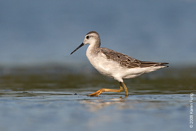 August 31st: Wilson's Phalarope at Jamaica Bay Wildlife Refuge