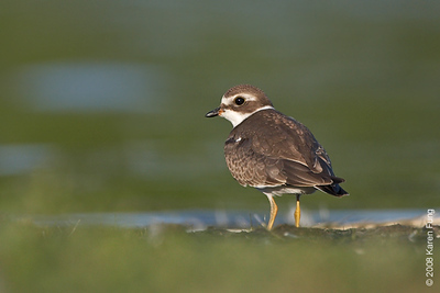 August 31st: Juvenile Semipalmated Plover at Jamaica Bay Wildlife Refuge