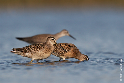 August 31st: Short-billed Dowitchers at Jamaica Bay Wildlife Refuge