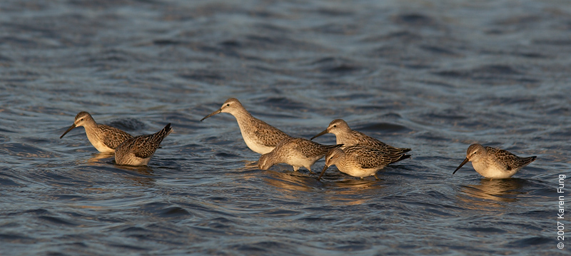Sept 15th: Stilt Sandpipers at Jamaica Bay WR