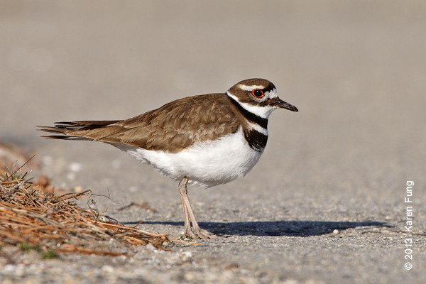 17 March: Killdeer at Jones Beach