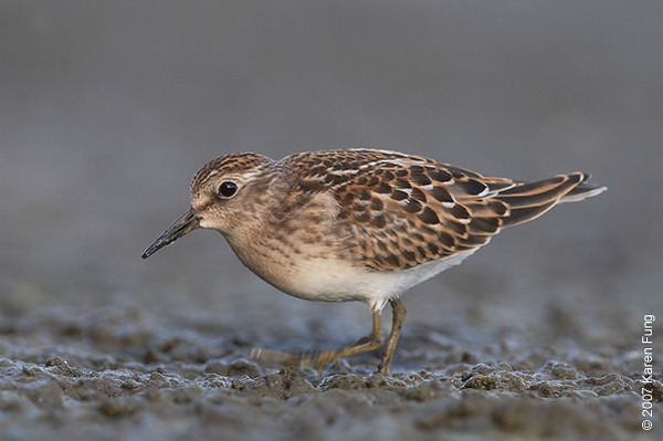 1 Sept 2007: Least Sandpiper at Jamaica Bay Wildlife Refuge