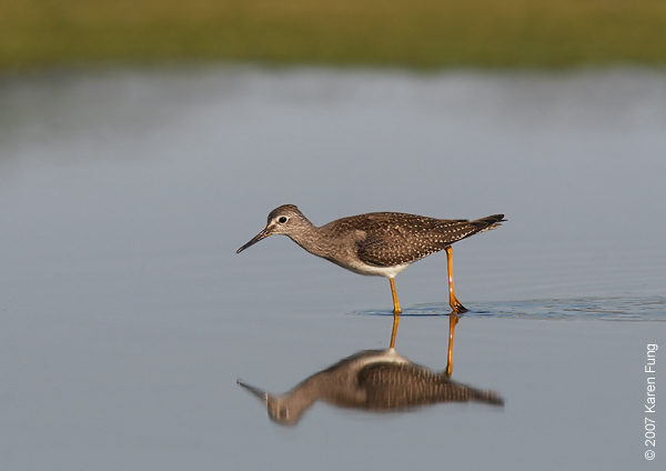 Lesser Yellowlegs at Jamaica Bay WR