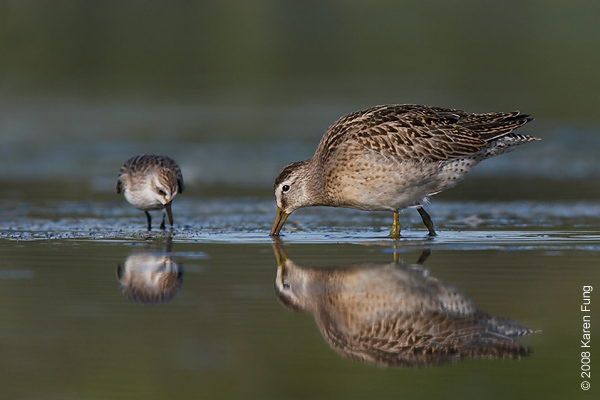August 31st: Short-billed Dowitcher and Semipalmated Sandpiper at Jamaica Bay Wildlife Refuge