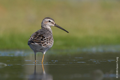 August 31st: Stilt Sandpiper at Jamaica Bay Wildlife Refuge