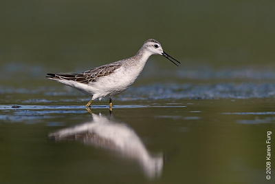 31 August: Wilson's Phalarope at Jamaica Bay Wildlife Refuge