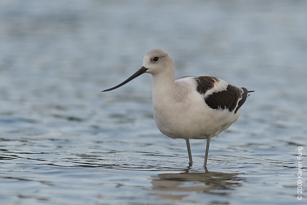 Sept 5th: An American Avocet on the East Pond of Jamaica Bay Wildlife Refuge