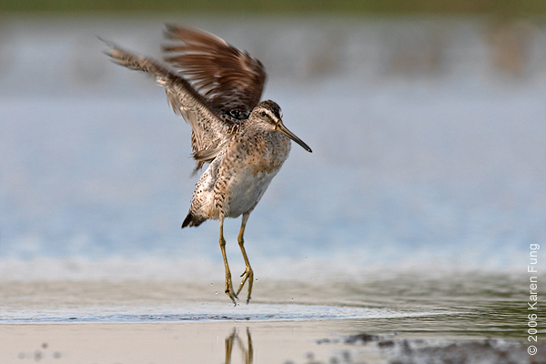 Short-billed Dowitcher doing a pirouette at Jamaica Bay Wildlife Refuge