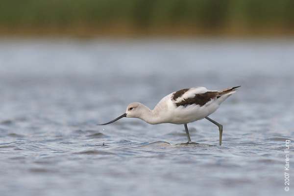 American Avocet under cloud cover at Jamaica Bay WR