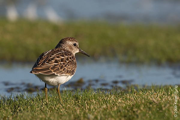 Sept 1st: Least Sandpiper at Jamaica Bay Wildlife Refuge