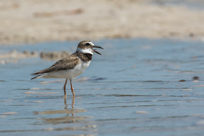 Wilson's Plover, Tiger Tail Beach, Marco Island, Florida