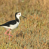 Pied Stilt, Miranda Shorebird Centre, New Zealand