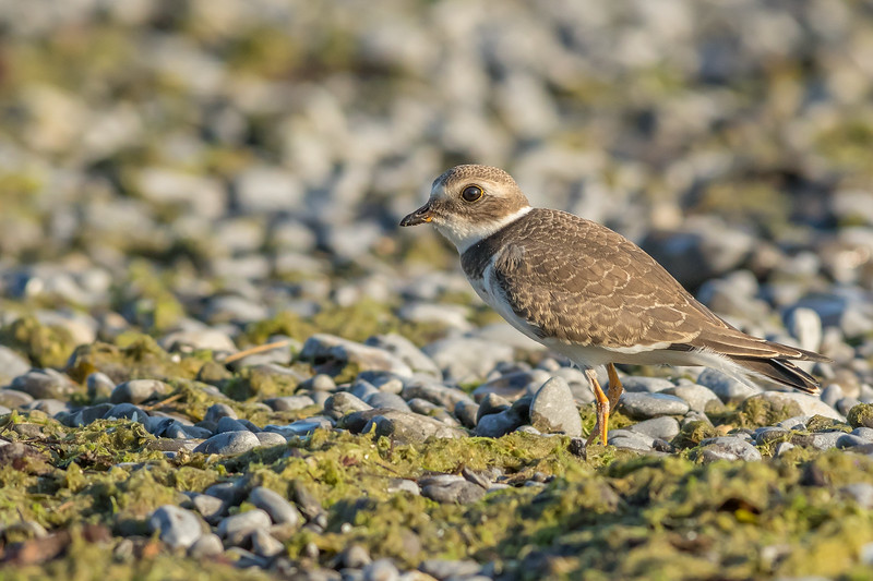 Semipalmated Plover, Wellington, Ontario