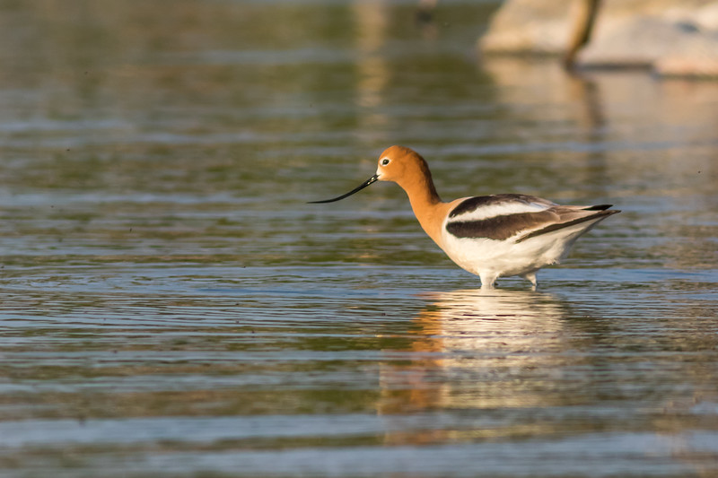 American Avocet, Fishing Lake, Saskatchewan