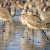 Marbled Godwits, Eureka, California