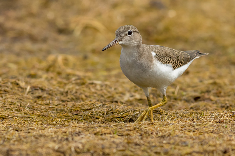 Spotted Sandpiper, Arrowwood National Wildlife Refuge, North Dakota