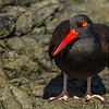 Black Oystercatcher, Pacific Rim National Park, British Columbia