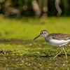 Solitary Sandpiper, Figure Eight Lake Provincial Recreation Area, Alberta