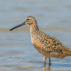 Short-billed Dowitcher, Tiger Tail Beach, Marco Island, Florida