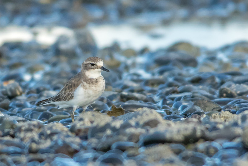 Double-banded plover, Kaiaua, New Zealand