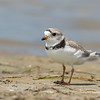 Piping Plover, Tiger Tail Beach, Marco Island, Florida