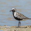Black-bellied Plover, Tiger Tail Beach, Marco Island, Florida