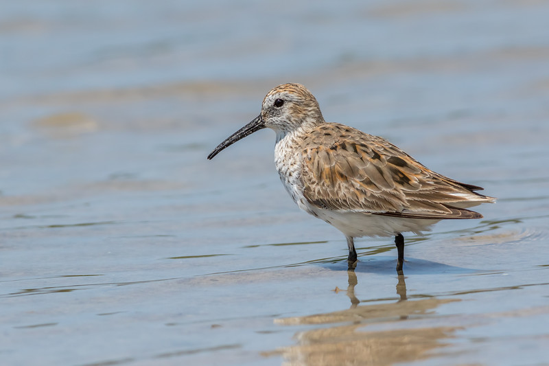 Dunlin, Tiger Tail Beach, Marco Island, Florida