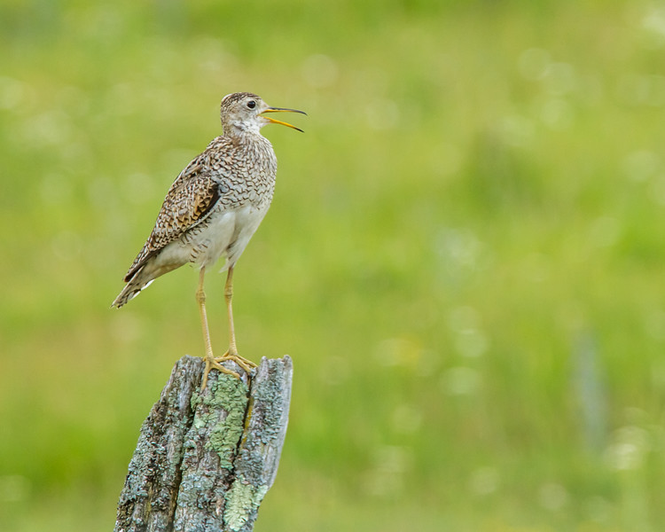 Upland Sandpiper, Greater Napanee, Ontario