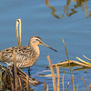 Short-billed Dowitcher, Aroland, Ontario