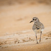 Black-bellied Plover, North Peninsula State Park, Florida