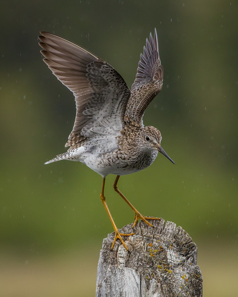 Lesser Yellowlegs, Hidden Lakes, Whitehorse, Yukon