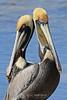 Brown pelicans