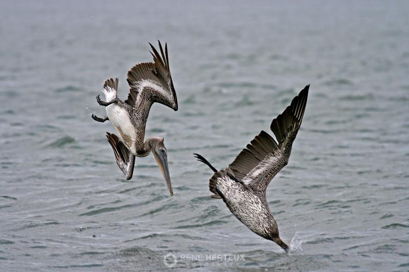 Diving pelicans