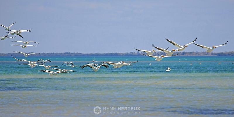 Line of pelicans