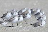Sleepy sanderlings