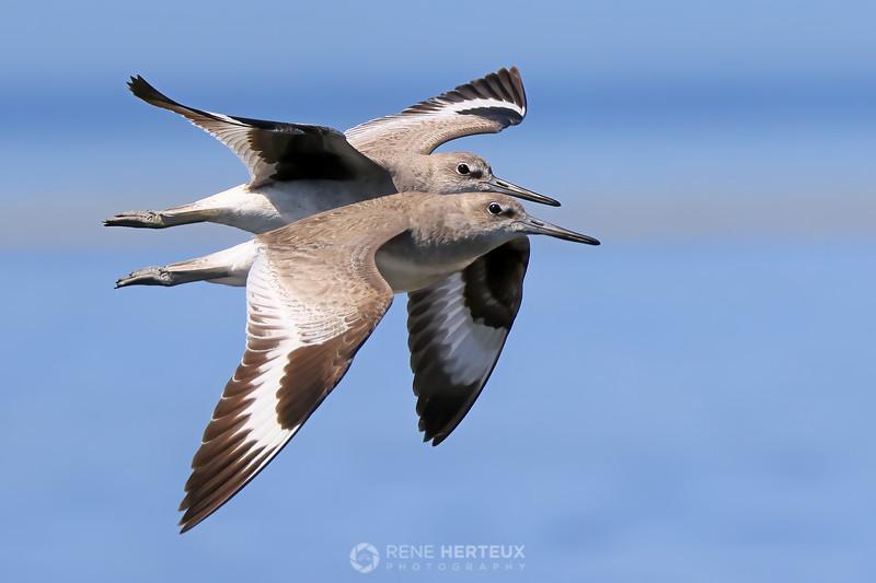 Pair of willets in flight